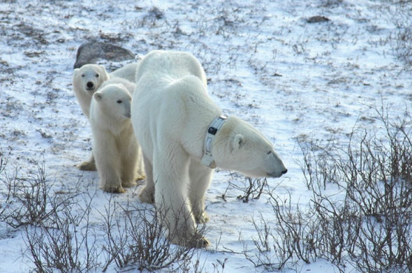 Polar bears wearing GPS tracking collars