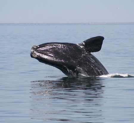 Geomatics Tools In The Protection and Conservation of North American Right Whales