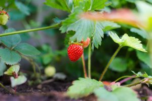 Freshly growing strawberries. A single red strawberry in a strawberry patch.